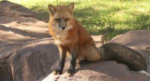 Une fin vers le haut de portrait d'un Fox rouge Image libre de droits