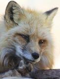 Une fin vers le haut de portrait d'un Fox rouge Photographie stock libre de droits