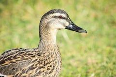Une fin vers le haut de profil latéral d'un canard femelle de Mallard Photographie stock libre de droits