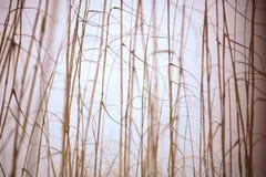 Roseau des sables image libre de droits