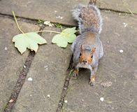 Une fin vers le haut de tir d'un écureuil gris regardant l'appareil-photo Images libres de droits