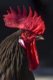 Une fin vers le haut de tir d'un coq au soleil Photographie stock