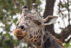 Une fin vers le haut du portrait principal de tir d'une girafe regardant directement Photographie stock