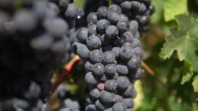 Une fin vers le haut du tir de beaux raisins rouges après pluie au vignoble clips vidéos