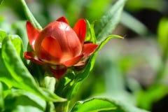 Une fleur éternelle Photo libre de droits