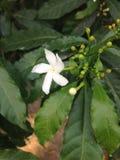 Une fleur blanche Photo libre de droits