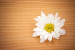 Une fleur blanche de chrysanthème sur le fond en bois Images libres de droits