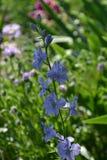 Une fleur bleue Image libre de droits