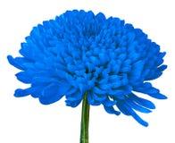 Une fleur bleue de chrysanthème d'isolement sur un fond blanc Plan rapproché Bourgeon floral sur une tige verte Images stock
