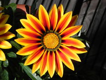 Une fleur colorée dans le jardin Photographie stock