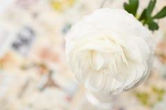 Une fleur crème d'asiaticus de Ranunculus Photos stock