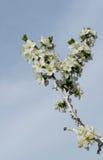 Une fleur d'arbre au printemps avec des abeilles sur les fleurs Photo stock