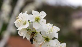 Une fleur d'arbre au printemps avec des abeilles sur les fleurs Photos stock