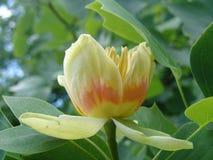 Une fleur d'arbre de tulipe Photographie stock libre de droits