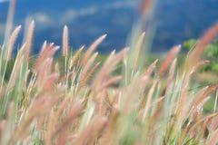 Une fleur d'herbes dans le coucher du soleil images stock