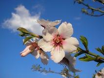 Une fleur d'un arbre d'amande Juste plu en fonction image stock
