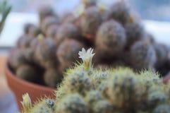 Une fleur d'un cactus à la maison Photo libre de droits