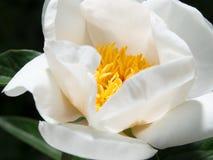 Une fleur d'une pivoine blanche Photo stock