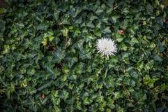 Une fleur dans le lierre Photographie stock libre de droits