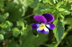 Une fleur de Caïn Images stock