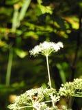 Une fleur de carotte sauvage Photo libre de droits