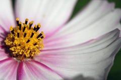 Une fleur de cosmos Images stock