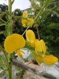 Une fleur de Dainsa Photographie stock libre de droits