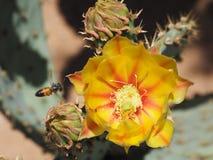 Une fleur de figuier de barbarie avec les bourgeons de regard peu communs Photographie stock libre de droits