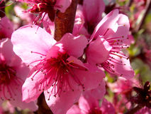 Une fleur de floraison rose au printemps Photographie stock