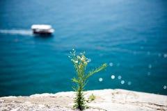 Une fleur de floraison sur une falaise près de la mer photo stock