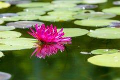 Une fleur de lotus de floraison Photographie stock
