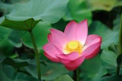 Une fleur de lotus rose Photographie stock