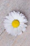 Une fleur de marguerite Images stock