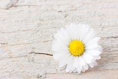 Une fleur de marguerite sur le fond en bois blanc Photos stock
