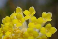Une fleur de Mitsumata qui fleurit les belles fleurs jaunes qui fleurissent au printemps Photos libres de droits