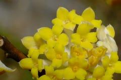 Une fleur de Mitsumata qui fleurit les belles fleurs jaunes qui fleurissent au printemps Photo stock