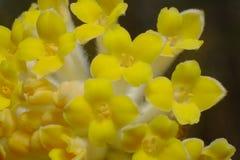 Une fleur de Mitsumata qui fleurit les belles fleurs jaunes qui fleurissent au printemps Photo libre de droits