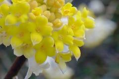 Une fleur de Mitsumata qui fleurit les belles fleurs jaunes qui fleurissent au printemps Photographie stock