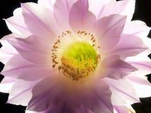 Une fleur de nuit du cactus d'Echinopsis Eyriesil Images libres de droits
