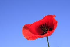 Une fleur de pavot contre le ciel bleu Photos stock