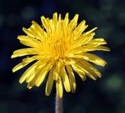 Une fleur de pissenlit photographie stock