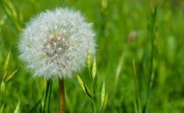 Une fleur de pissenlit photos stock