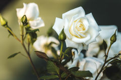 Une fleur de rose Photo libre de droits