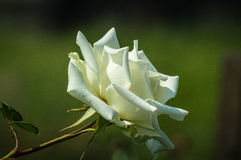 Une fleur de rose Photo stock