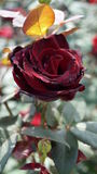 Une fleur de rose avec les pétales rouge foncé Photographie stock libre de droits