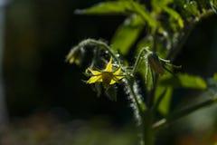 Une fleur des tomates Photographie stock libre de droits