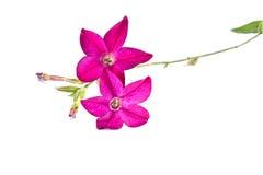 Une fleur est l'alata de nicotiana Photo stock