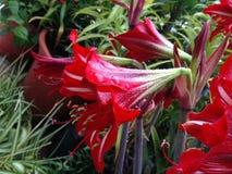Une fleur et une pluie rouges image stock