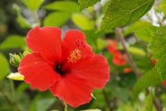 Une fleur exotique rouge photographie stock libre de droits
