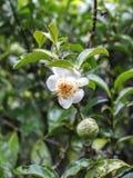 Une fleur fraîche de thé vert Images stock